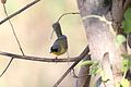 Gray-crowned Yellowthroat (Geothlypis poliocephala), Playa Tamerindo, Costa Rica.jpg