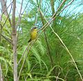 Gray-crowned yellowthroat.jpg