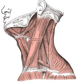 Store dick muskler