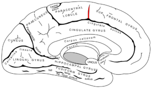 Paracentral sulcus - Medial surface of left cerebral hemisphere. (paracentral sulcus shaded in red.)