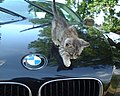 Gray kitten on BMW.jpg