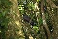 Great Blackhawk (Buteogallus urubitinga) (4089385477).jpg