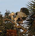 Great Blue Herons in Nesting Mode - Flickr - Andrea Westmoreland (1).jpg