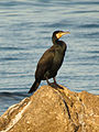 Great Cormorant (16166231047).jpg