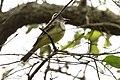Great Crested Flycatcher Sabine Woods TX 2018-04-14 09-48-18 (41092911084).jpg