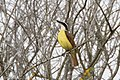 Great Kiskadee Bensten Rio-Grande SP Mission TX 2018-02-28 08-15-51 (26751885998).jpg