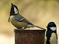 Great Tit (6847922138).jpg