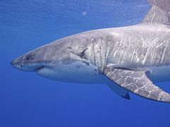 Great White Shark (14730701969).jpg