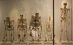 Great ape skeletons in the Museum of Zoology, University of Cambridge.jpg