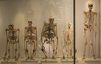 Cambridge University Museum of Zoology - Image: Great ape skeletons in the Museum of Zoology, University of Cambridge
