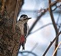 Great spotted woodpecker (49675463961).jpg