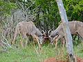Greater Kudus (Tragelaphus strepsiceros) fighting (11516229413).jpg