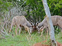 Greater Kudus (Tragelaphus strepsiceros) fighting (11516229413).jpg