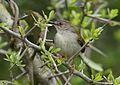 Green-backed camaroptera, Camaroptera brachyura, at Ndumo Nature Reserve, KwaZulu-Natal, South Africa (28982964062).jpg