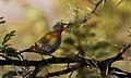 Green-winged Pytilia, Pytilia melba, at Pilanesberg National Park, Northwest Province, South Africa (28442488426).jpg