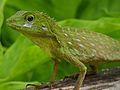 Green Crested Lizard (Bronchocela cristatella) (8080337487).jpg