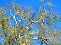 Green Fever tree and blue sky, Mapungubwe National Park (12521393273).jpg