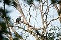 Green Imperial Pigeon portrait.jpg