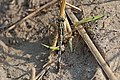 Green marsh hawk (Orthetrum sabina) female 2 Bardiya.jpg