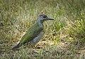 Green woodpecker (43062475731).jpg