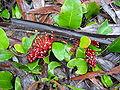 Grevillea laurifolia.jpg