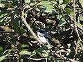 Grey Buschchat - Saxicola ferreus - DSC03949.jpg