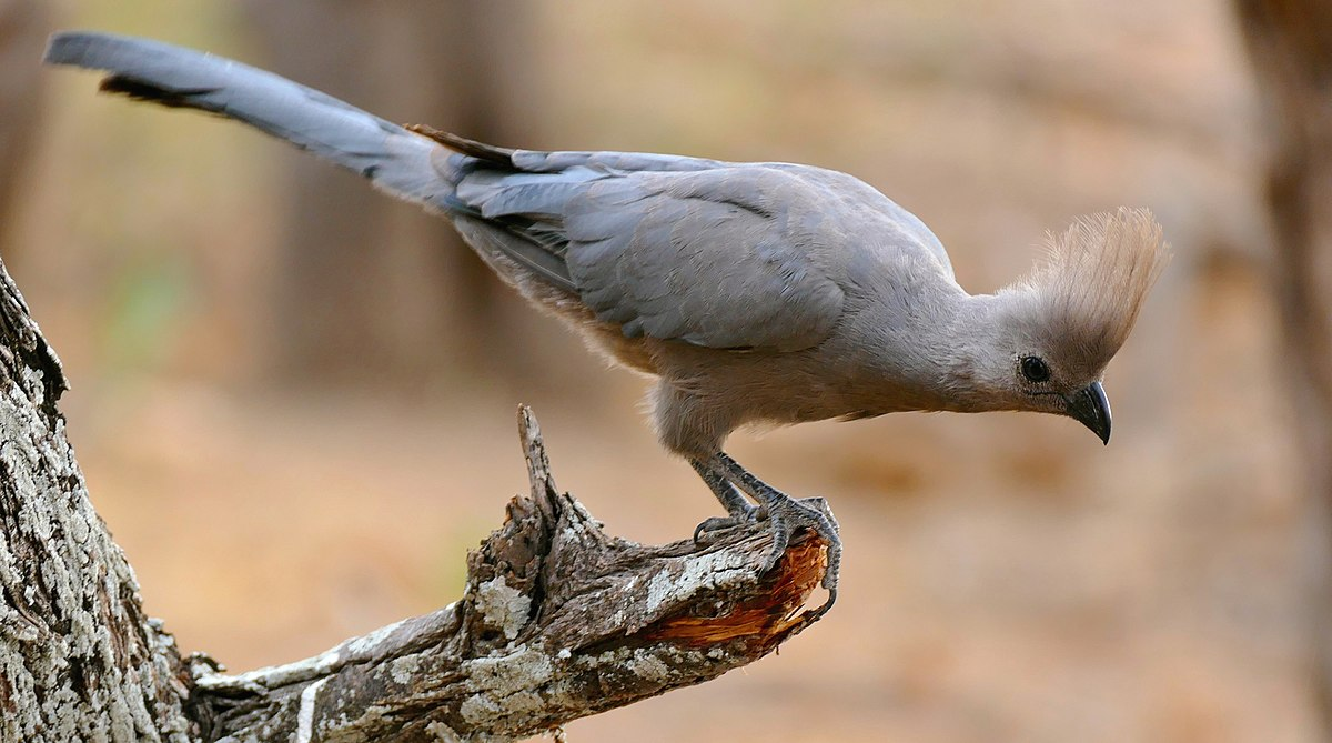 grey goawaybird wikipedia