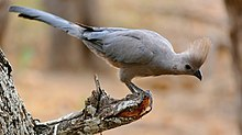 Grey Go-away-bird (Corythaixoides concolor) (32339139354), crop.jpg