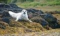 Grey Seal, Gairbh Eilein - geograph.org.uk - 1445471.jpg