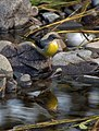 Grey Wagtail - geograph.org.uk - 1006775.jpg