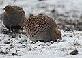 Grey partridge (46454525795).jpg