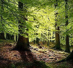 New beech leaves, Grib Forest in the northern part of Denmark
