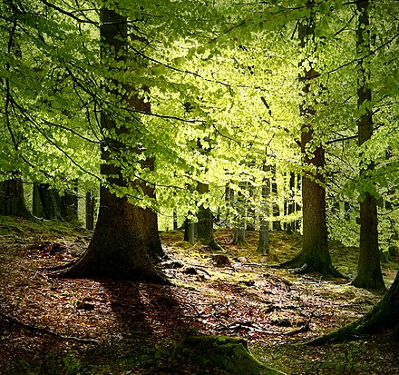 Beech trees are common throughout Denmark, especially in the sparse woodlands. Grib skov.jpg