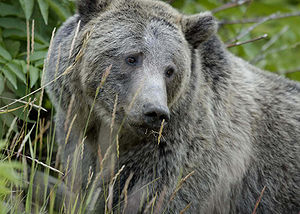 Grizzly Bear in Yellowstone National Park Ursu...