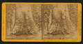 Grizzly Giant, (circum. 101 ft; the Largest Tree Know), Mariposa Co, by John P. Soule 3.png