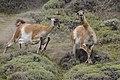 Guanaco (Lama guanicoe) - Torres del Paine National Park 20.jpg