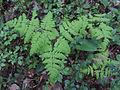 Gymnocarpium dryopteris Kemi, Finland 02.06.2013.jpg