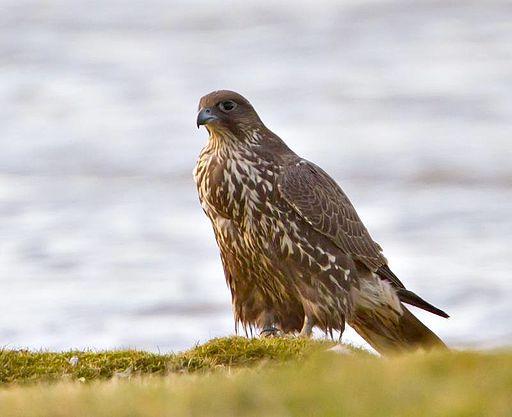 Gyr falcon - Falco rusticolus - Fálki 1