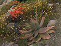 H20140331-1191—Aloe striata—UCBG (13593330963).jpg