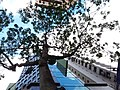 HK 灣仔 Wan Chai 駱克道 Lockhart Road tree June 2019 SSG 01.jpg