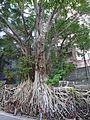 HK Sheung Wan 醫院道 Hospital Road Banyan trees Aug 2016 DSC 007.jpg