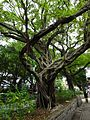 HK TST Nathan Road green Sidewalk Chinese Banyan trees Aug-2015 DSC (16).JPG