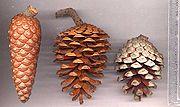 P. halepensis cones