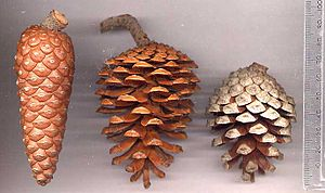 Pinus halepensis - Image: Halep
