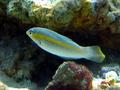 Halichoeres zeylonicus Mirihi.png