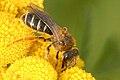 Halictus.rubicundus2.-.lindsey.jpg