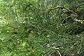 Halocarpus kirkii kz2.jpg