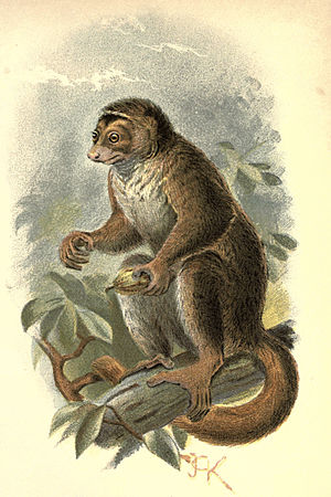 Handbook to the Primates Plate 10.jpg