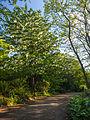 Handkerchief tree (overview) (9055810131).jpg