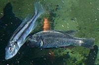 Haplochromis thereuterion.jpg